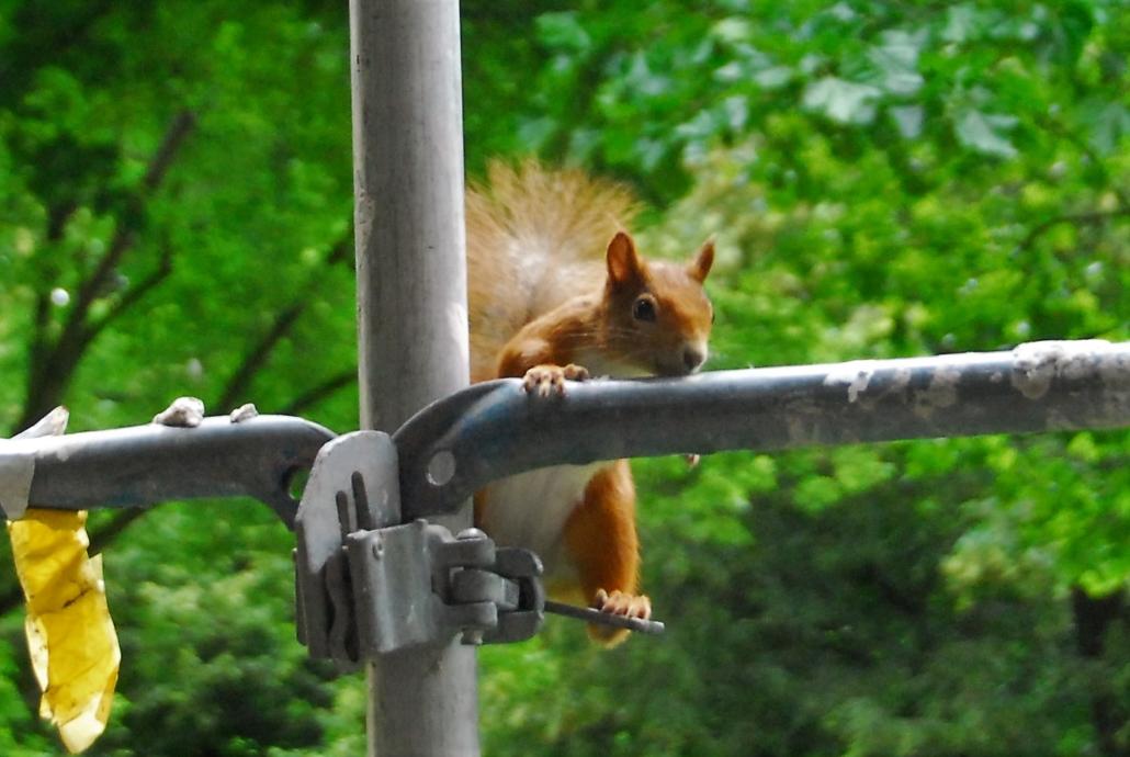 Mühsam ernährt sich das Eichhörnchen :-D