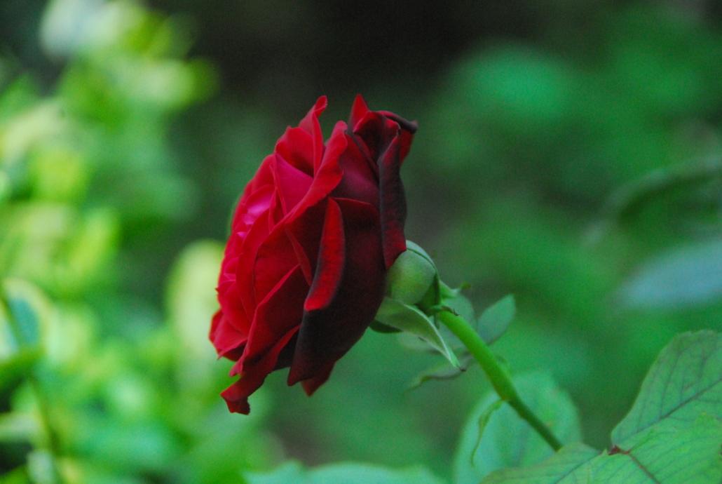 Rosen die das Herz erfreuen :-)